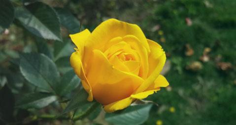rosas amarillas de la amistad